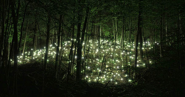 Magnificent Photos of Fireflies