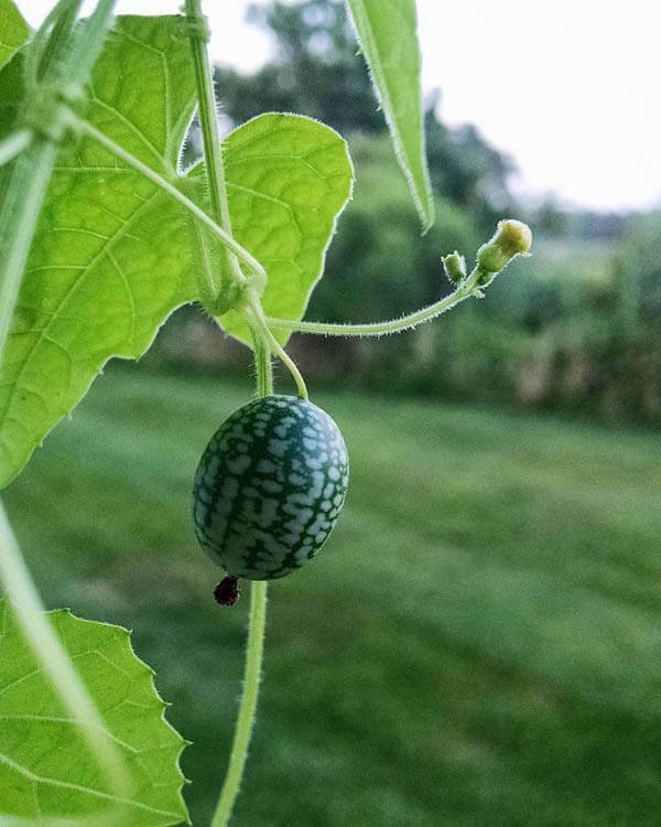 Cucamelon: a Grape Size Watermelon Looking Cucumber