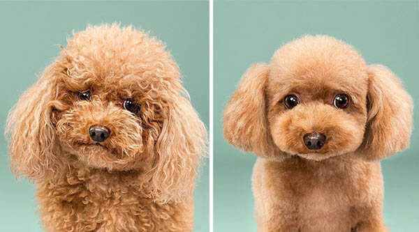 Before and After Photos of Dog's Makeover - Grooming
