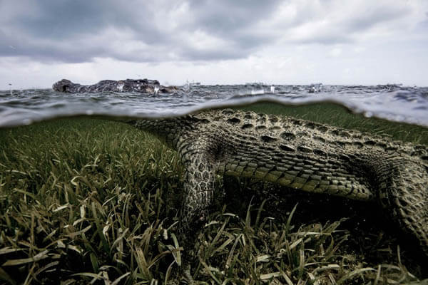 Life Risking Photography of Ten-Foot-Long American Crocodile