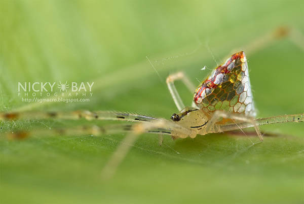 Mirror Spider: Spider with Silvery 'Scales' by Nicky Bay