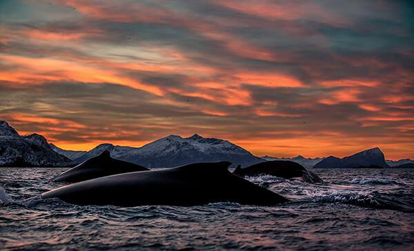 Magnificent Photos of Arctic Whales by Audun Rikardsen