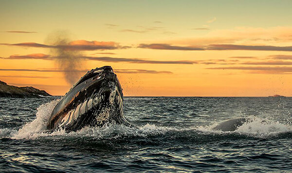 Magnificent Photos of Arctic Whales by Audun Rikardsen – Design Swan