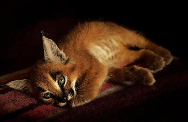 Meet Caracals: The Cutest Cat Species