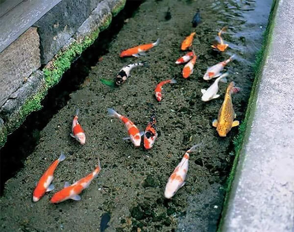 Koi fish in drainage canal in japan design swan for Koi pond drain