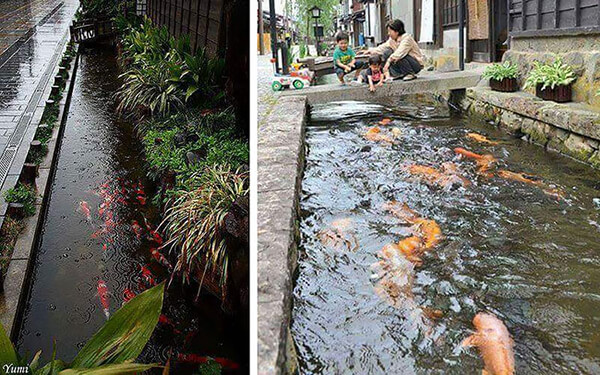 Koi Fish in Drainage Canal in Japan