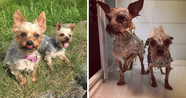 Funny Before and After Bath Dog Photos