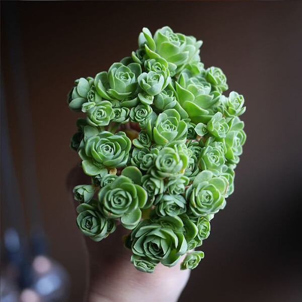 Beautiful Rose-shaped Succulents