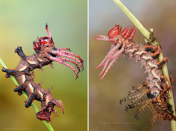 Stunning Photography of Caterpillars Captured by Igor Siwanowicz