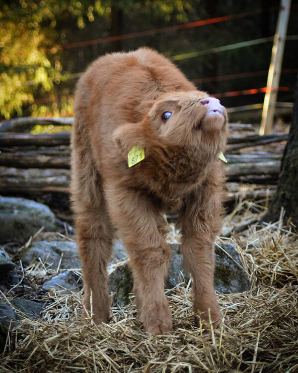 Highland Cattle Calves: Probably the Most Adorable Calves in the World