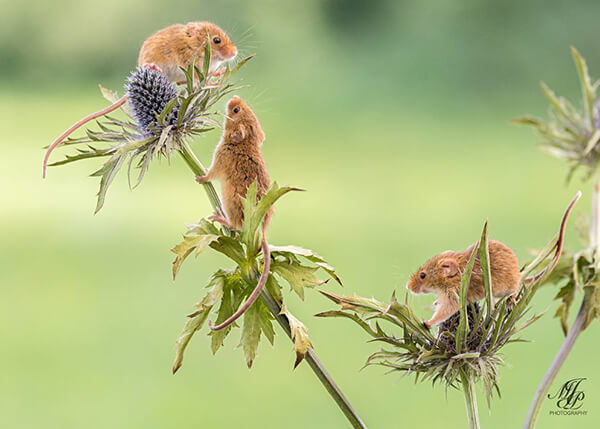 Super Cute Photos of Harvest Mouse