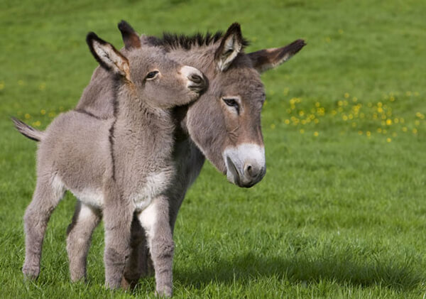 20 Adorable Photos of Baby Donkey