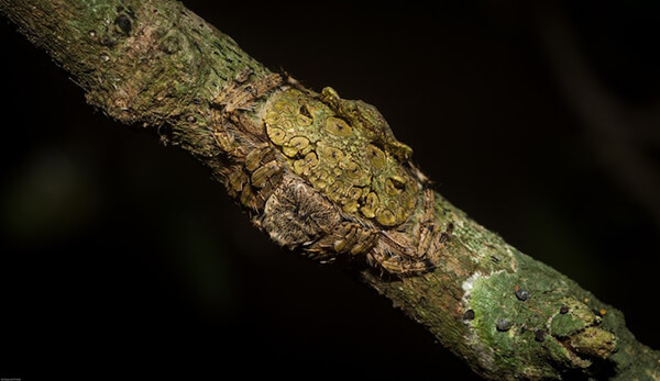 Wrap-around Spider: Another Camouflage Expert