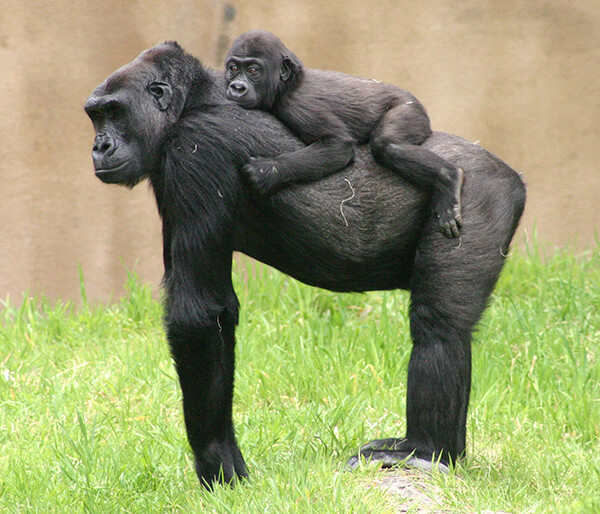 How Animal Moms Carry Their Babies