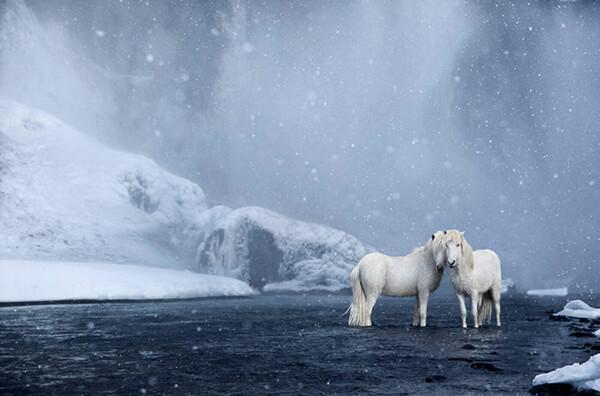 Fairytale-Like Icelandic horses Who Roam Iceland's Epic Landscape